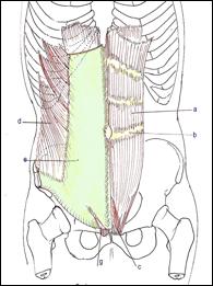 organes abdomen schéma