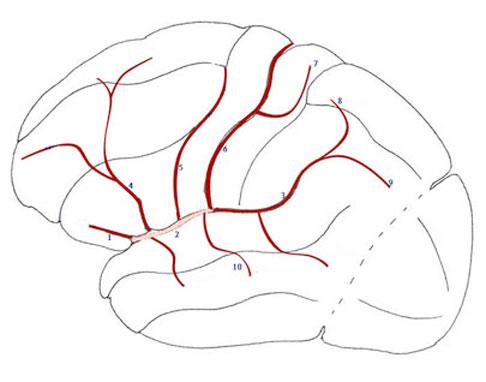 Schema artere sylvienne